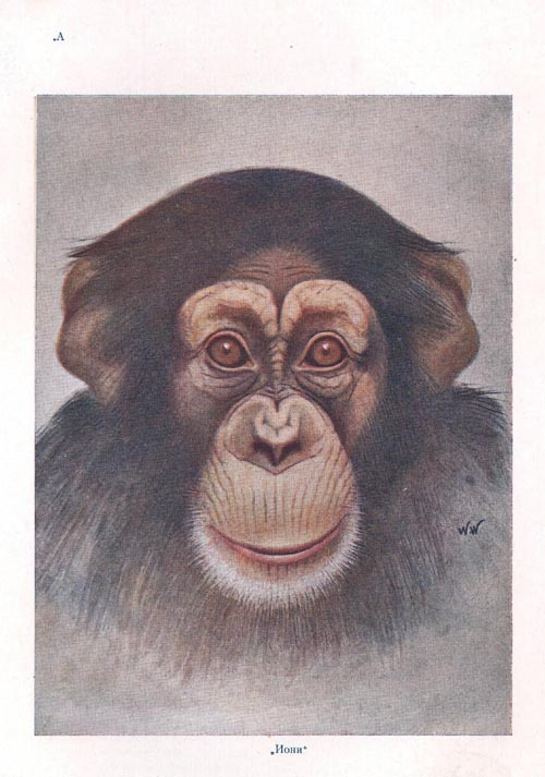 The Face of the Infant Chimpanzee