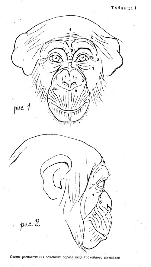 The face of the chimpanzee in quiet state