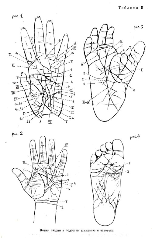 Hand and sole lines of chimpanzee and man
