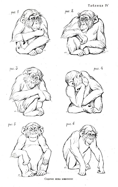 Sitting postures of the chimpanzee