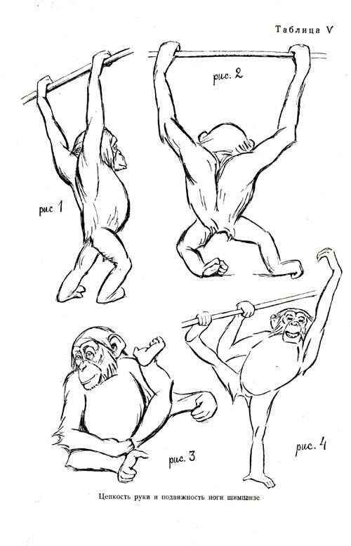 The chimpanzee's tenacity of arms and mobility of legs