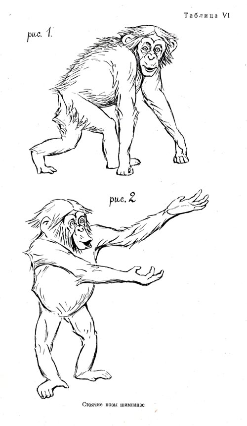 Standing postures of the chimpanzee