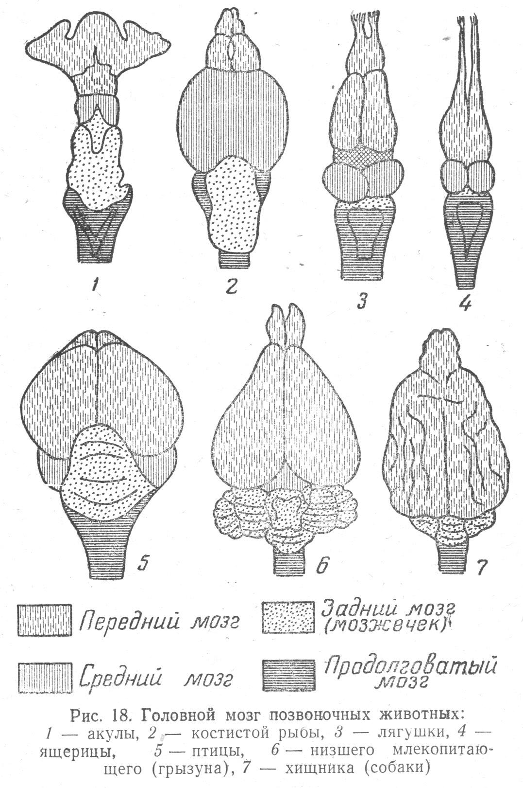 фото мозку тварин