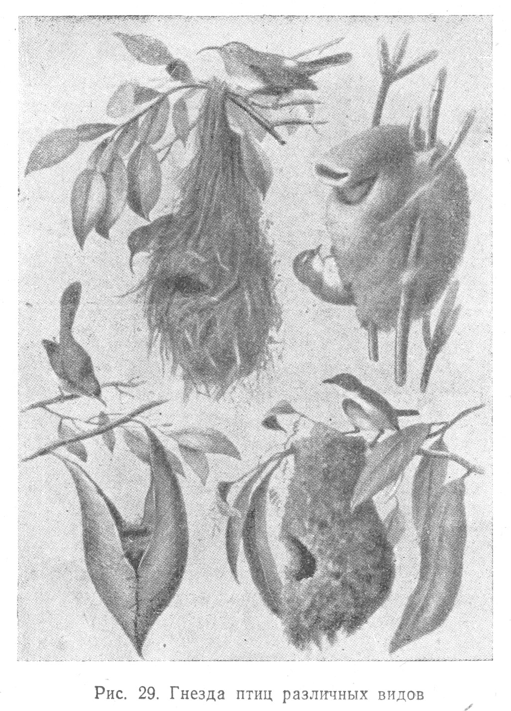 Гнезда птиц (птенцы и взрослые) - Птицы.